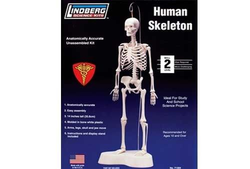 Human Skeleton (36cm with Base)